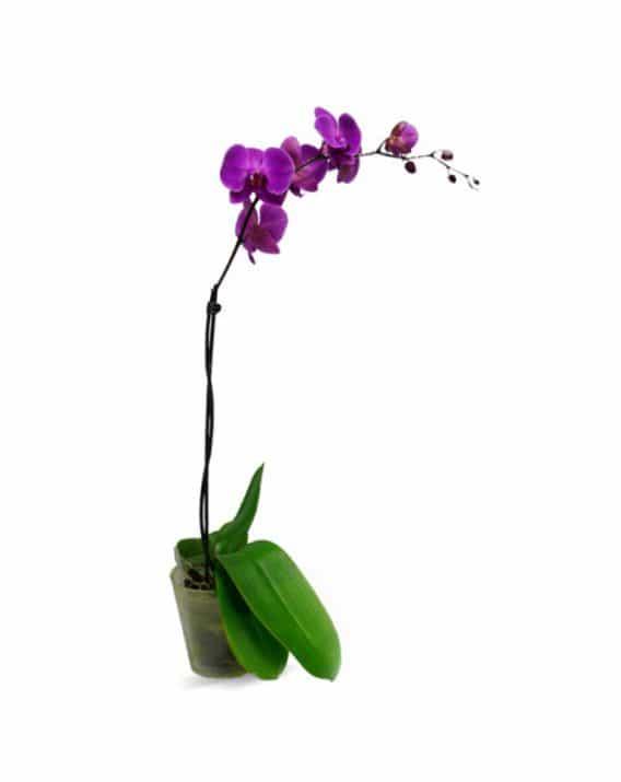 Ühevarreline Orhidee