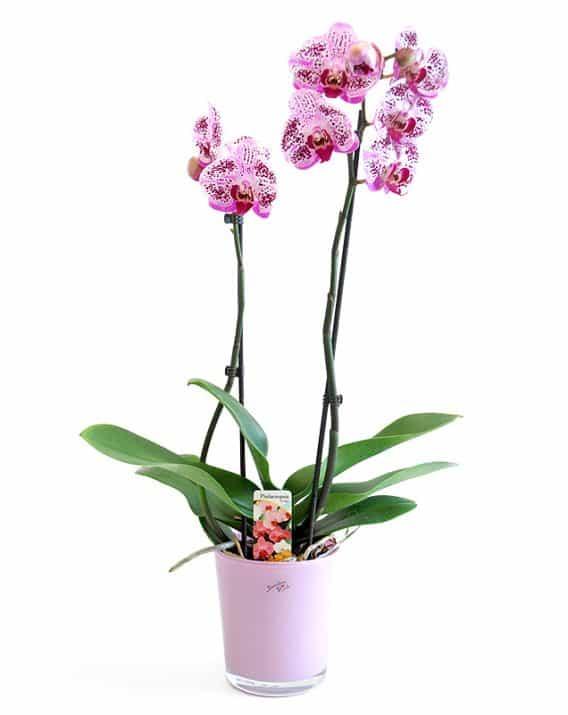 Kahevarreline orhidee