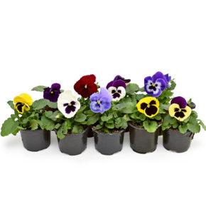 Võõrasema aeda Viola × wittrockiana